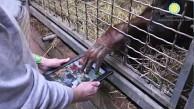 Apps4Apes - Menschenaffen unterhalten sich mit iPads