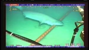 Hai beißt in Tiefseekabel