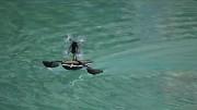 Schwimmende Minidrohne von Parrot (Herstellervideo)