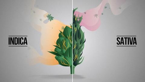 Die Unterschiede von Indica und Sativa (Herstellervideo)