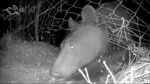 Bär mit der Arlo-Kamera aufgenommen