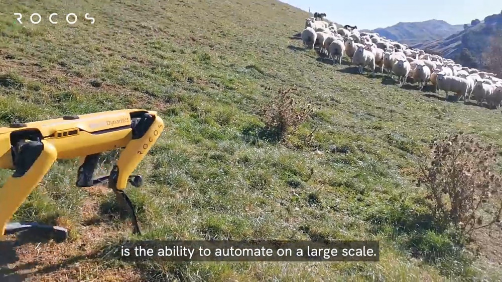 Spot-Roboter hütet Schafe (Rocos)